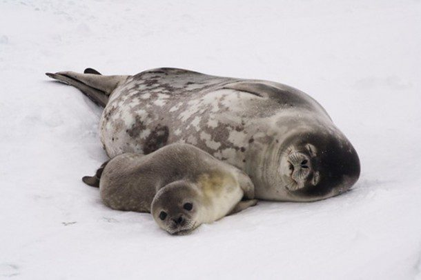 Fun fact: Some seal species, like the Leopard Seal, feed off fellow seals! Most, however, feed off crustaceans, fish and seabirds (if they can catch them)