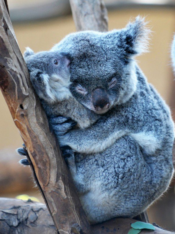 Fun fact: Koalas can only live in one place in the world, Australia. They only eats Eucalyptus leaves and will eat up to 2.5 pounds every day