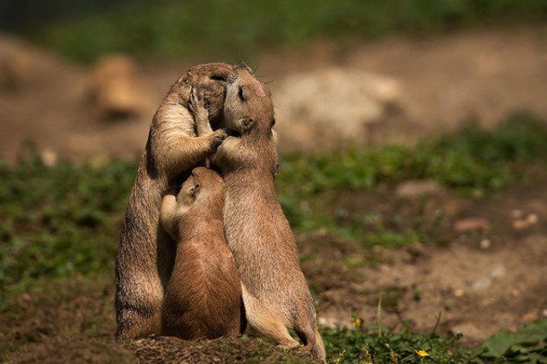 Fun fact: All five species of prairie dog belong to the Scuiridae (squirrel) family. Their other biological relatives include groundhogs, chipmunks, marmots and woodchucks