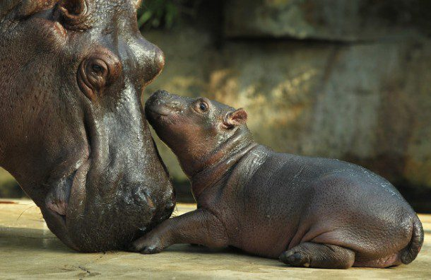 Fun fact: The name Hippopotamus comes from the Ancient Greek 'river horse'