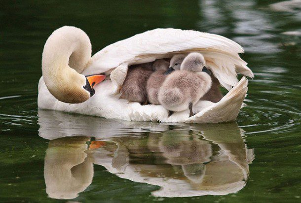 Fun fact: A swan will mate for life