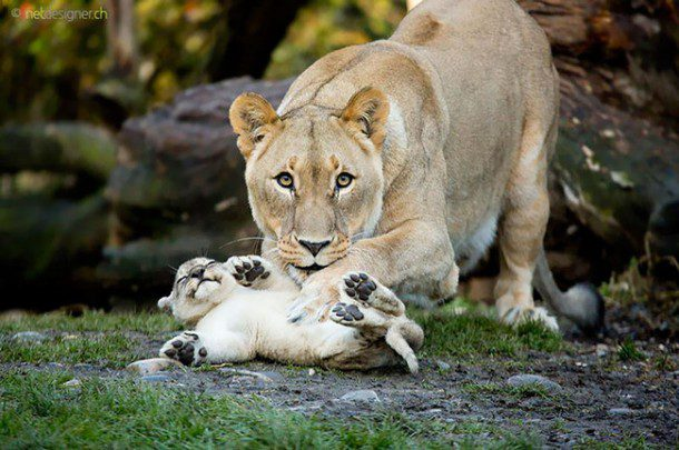 Fun fact: Lions are the only cats that live in groups
