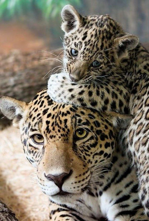 Fun fact: Leopards can run up to 58 km/h (36 mph) and can leap 6 meters (20 feet) horizontally and 3 meters (10 feet) vertically