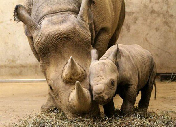 Fun fact: The name rhinoceros means 'nose horn' and is often shortened to rhino