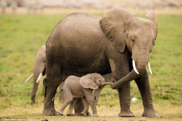 Fun fact: African elephants have large ears shaped like the continent of Africa, while Asian elephants' ears are smaller and shaped like India