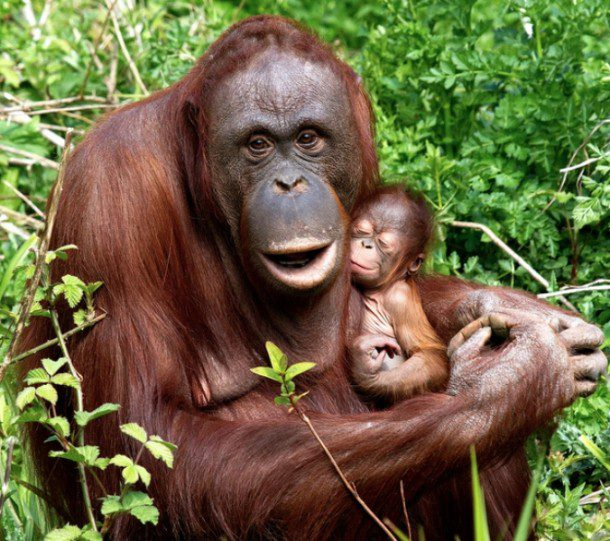 """Fun fact: The orangutan is one of humankind's closest relatives – in fact, we share nearly 97% of the same DNA. The word orangutan comes from the Malay words """"orang hutan"""", meaning """"human of the forest"""""""