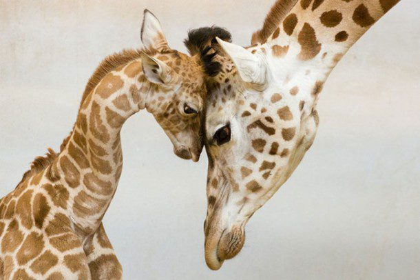 Fun fact: A giraffe's neck is too short to reach the ground. As a result, it has to awkwardly spread its front legs or kneel to reach the ground for a drink of water