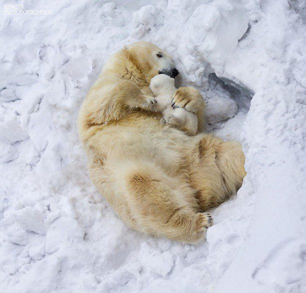 Fun fact: Polar bears have black skin and although their fur appears white, it is actually transparent